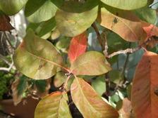 Smoketree