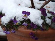 Snowviola