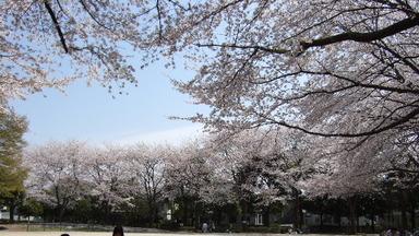 2008_0404ohanami0020_3