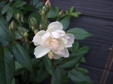 Rosesnowgoose