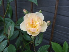 Rosesnowgoose1