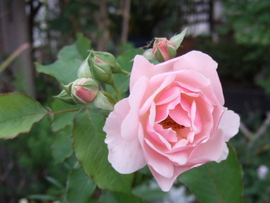 Rosefelicia1