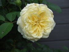 Rosepilgrim1