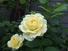 Rosepilgrim2