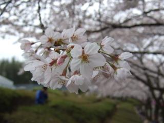 2010_0404sakura0016